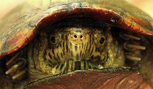 TurtleMudAnterior01